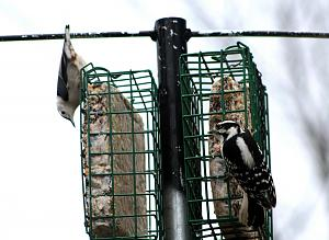 Downey Woodpecker_F_ White Brested Nuthatch - 12-05-16 - 1200.jpg