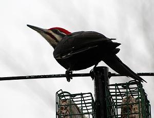 Pileaded Woodpecker_M_ 12-05-16 - 1200.jpg