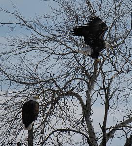 2 Eagles 1 - Sax- Zim Bog - 1200 - 02-16-17.jpg