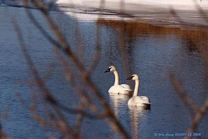 Swans At SWR Office Creek - 1100.jpg