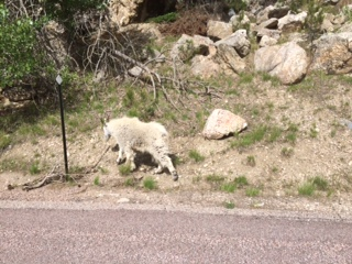 Mountain goat by side of road behind Mt. Rushmore