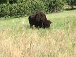 Buffalo near road in Custer Park.  These guys/gals are HUGE!!!