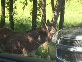 Begging burro in Custer State Park.  They stand in the road hoping you will roll down the window and give them carrots or crackers!