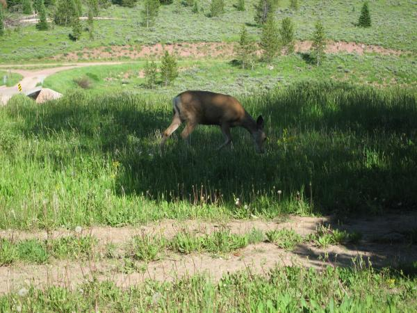 Deer just outside of our trailer.  Bridger Nat. Forest just south of Jackson Hole Wyo.
