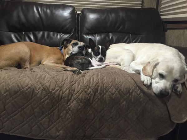 Our fur babies Noel the Boxer, Hunter the Lab and Sissy the boston terrier/chihuahua mix