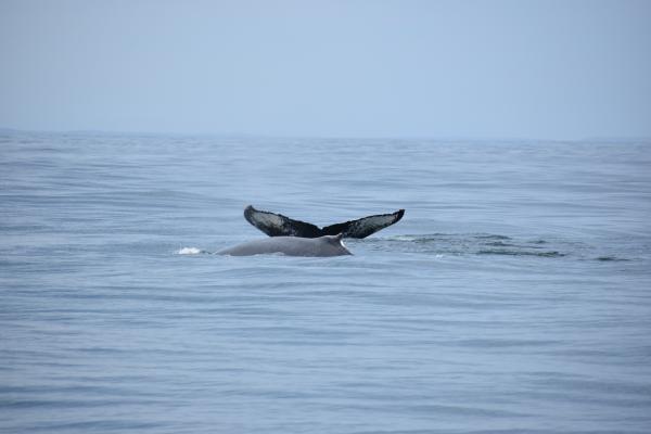 2 Humpbacks,  We seen 10!!!